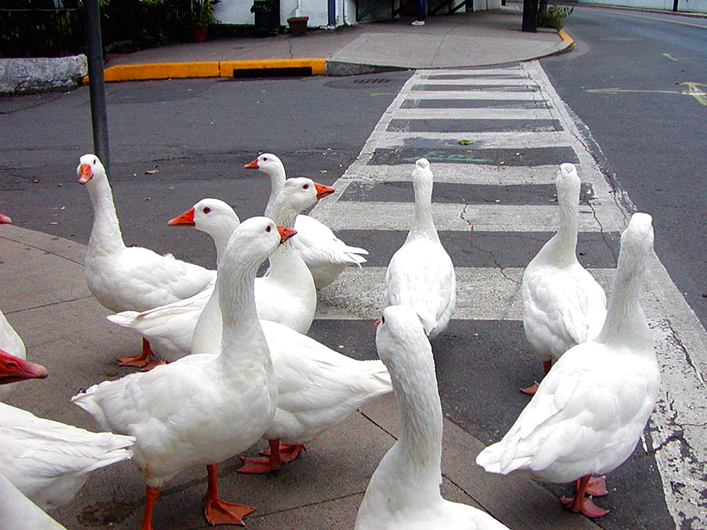 Geese in confusion: confused geese look for a way to go in a small Pennsylvania town, USA