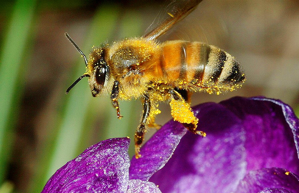 Covered in pollen, a honey bee takes flight over a purple crocus, Pennsylvania, USA