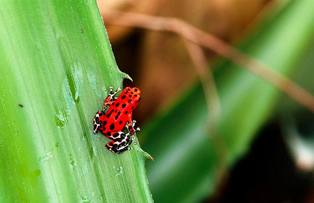 Strawberry Poison Dart Frog (Dendrobates pumilio), Bocas del Toro archipelago, Panama