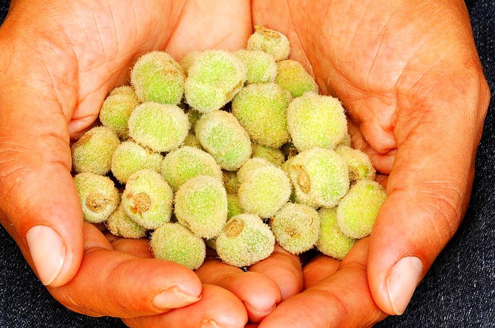 Teak seeds, Darien province, Repof Panama, Central America, 2005