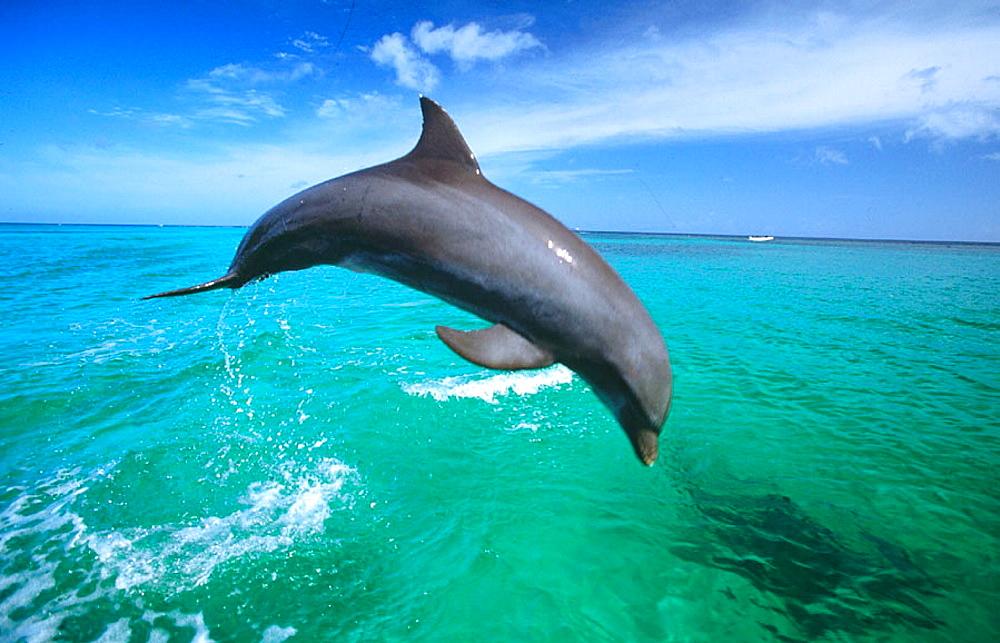 Bottlenose Dolphin, Caribbean Sea
