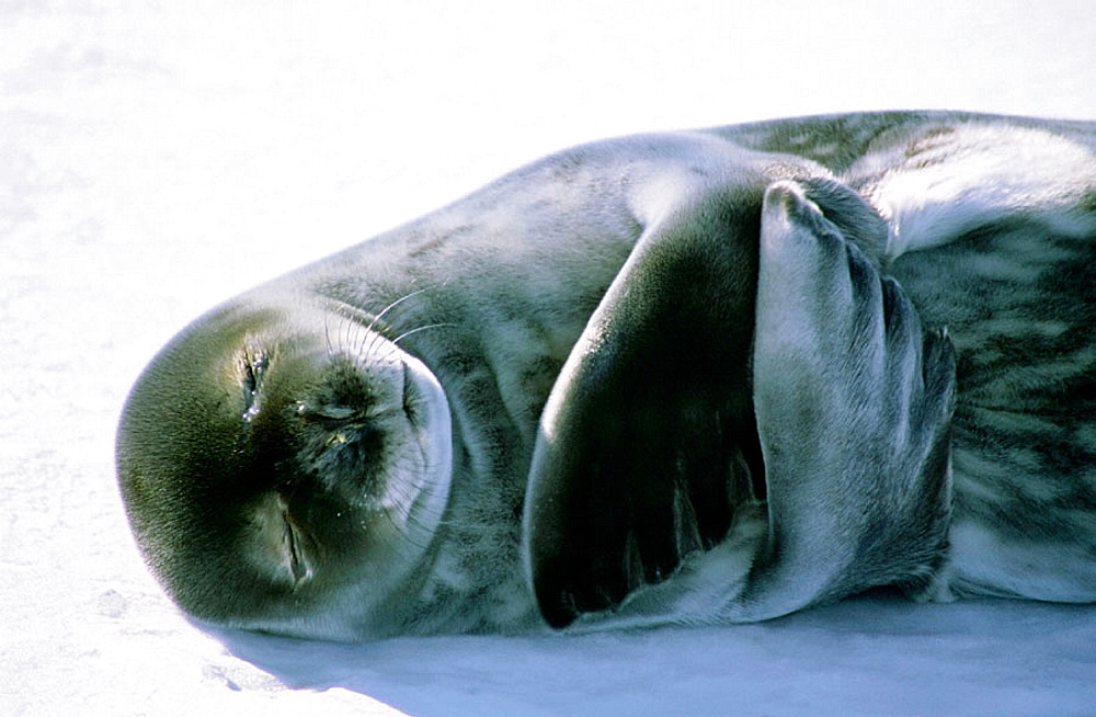 Weddell seal (Leptonychotes weddelli) on ice, Antarctica