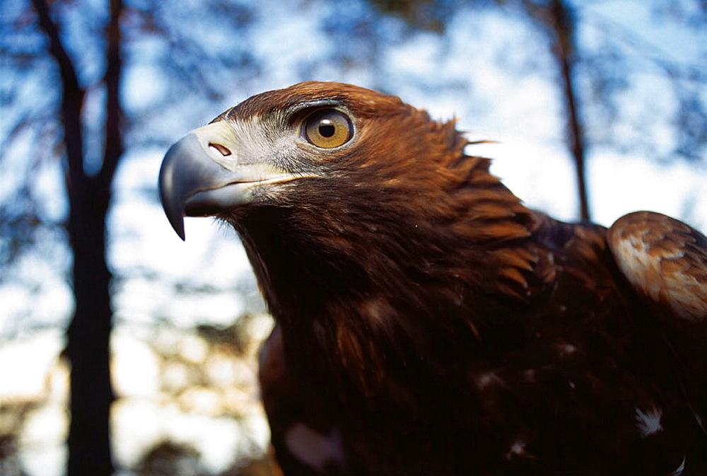 Goilden eagle (Aquila chrysaetos), Sweden