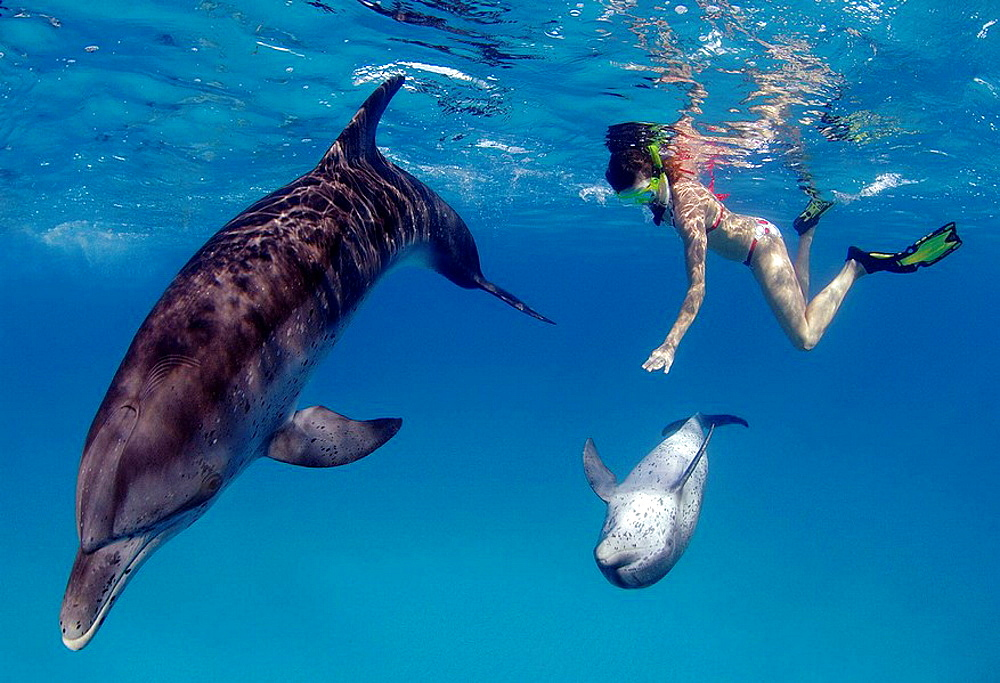 Wild Atlantic spotted dolphins playing with female snorkeler, Great Bahama Bank, Bahamas Islands