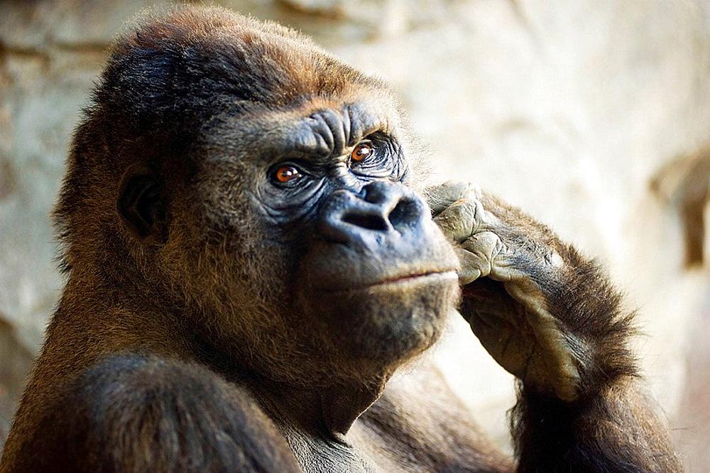Gorilla - 817-165817