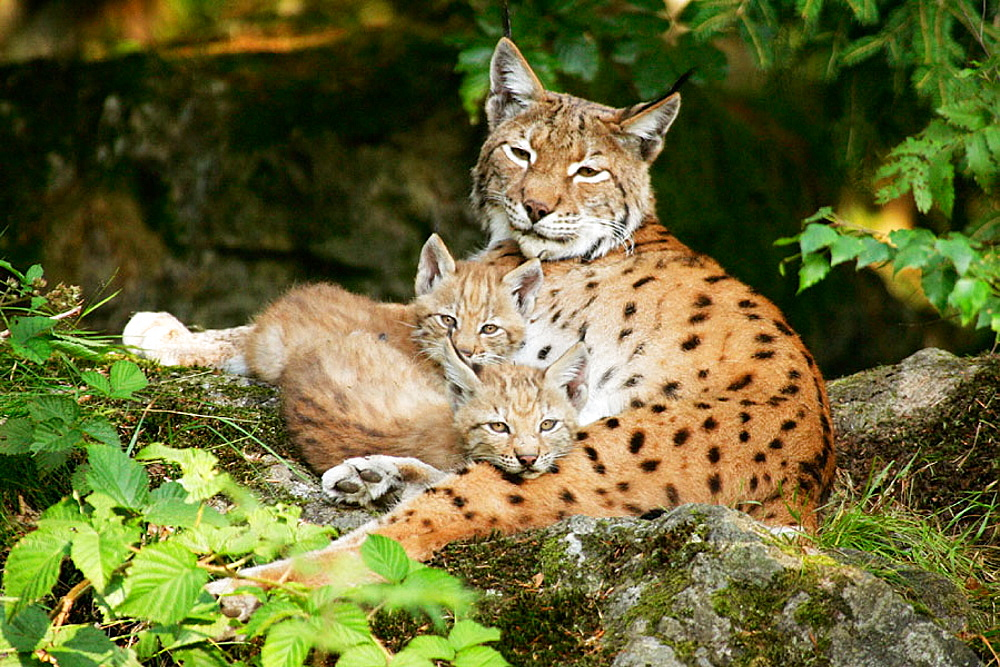 European Lynx (Lynx lynx) family, Captive, Germany