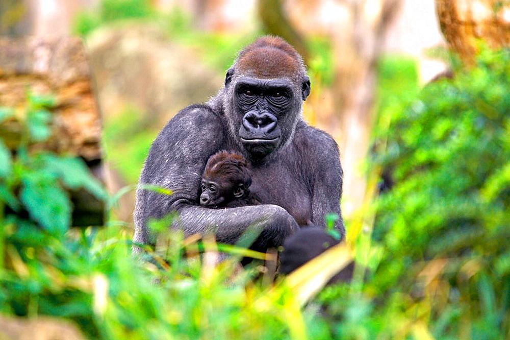 Mountain gorilla (Gorilla gorilla) captive, with baby, Germany - 817-167401