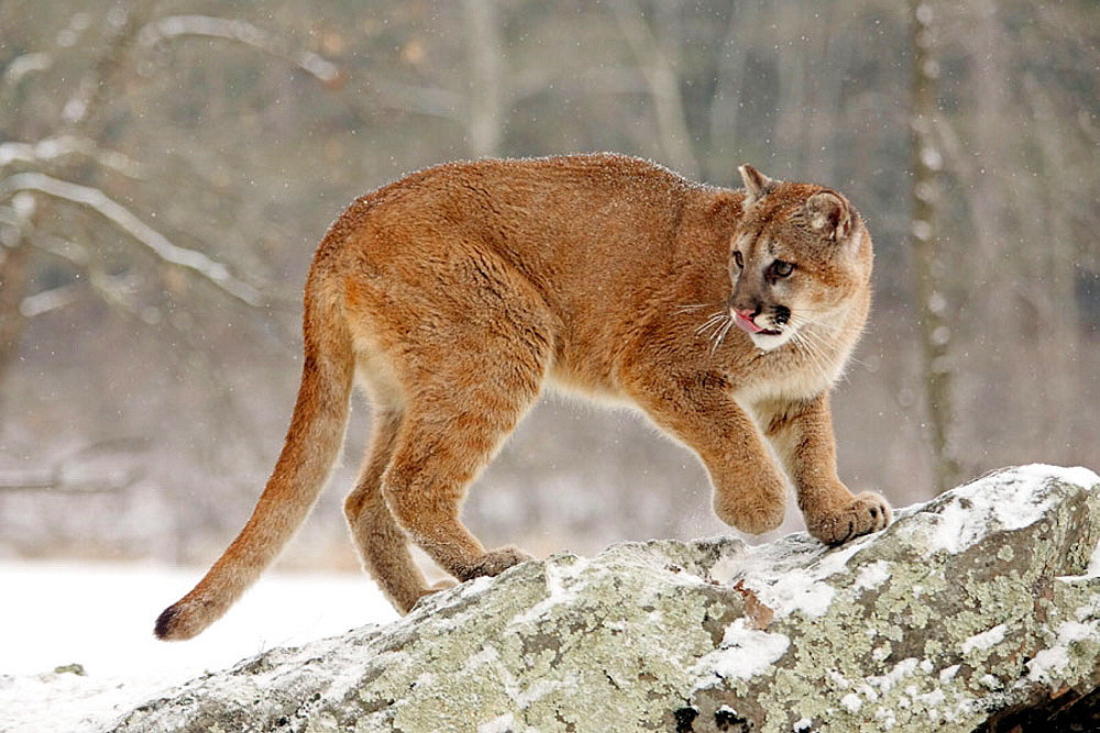Mountain Lion (Felis concolor), Minnesota, USA