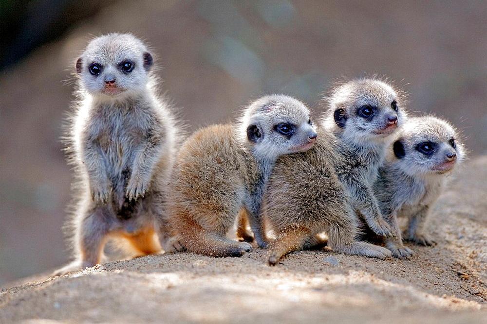 Suricate suricatta, Captive, Germany, Meerkat,  youngers