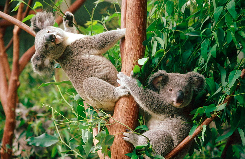 Lone Pine Koala Sanctuary, Brisbane, Queenslands, Australia