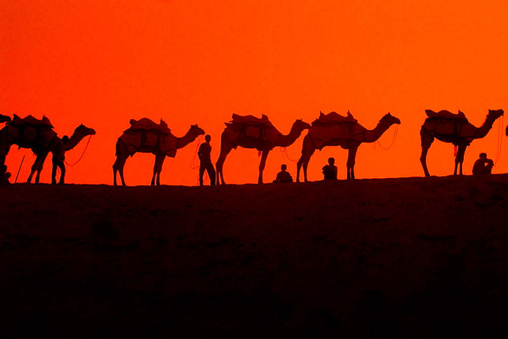 Camels stand at the top of the Kanoi Sand Dunes at sunset, Thar Desert, near Jaisalmer, Rajasthan, India