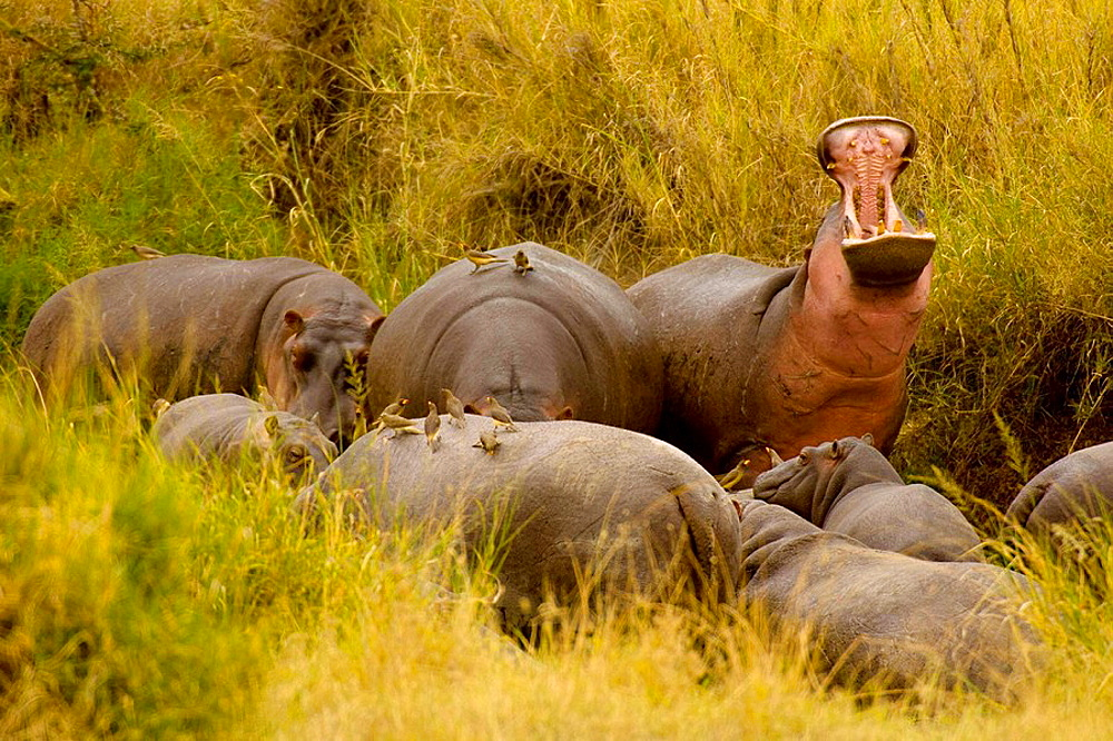 A bloat group of hippos one is 'yawning', which is actually a threat gesture, Serengeti National Park, Tanzania