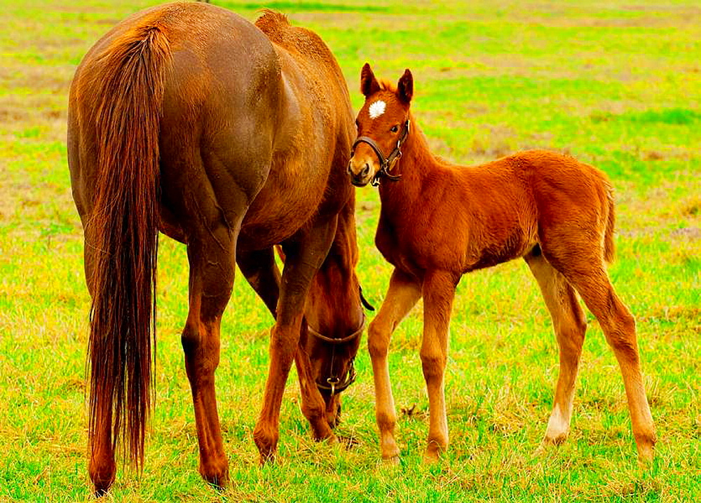 Thoroughbred mare and foal, Stonestreet Farms, Versailles near Lexington, Kentucky USA