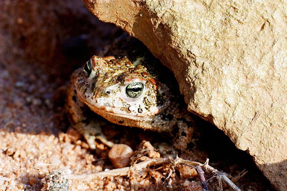 Natterjack (Bufo calamita) hides under a stone