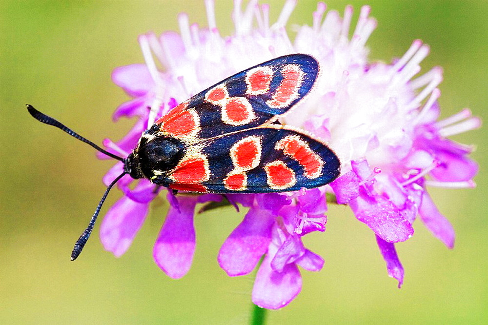 Burnet Moth (Zygaena carniolica) sucking on Field Scabious (Knautia arvensis)