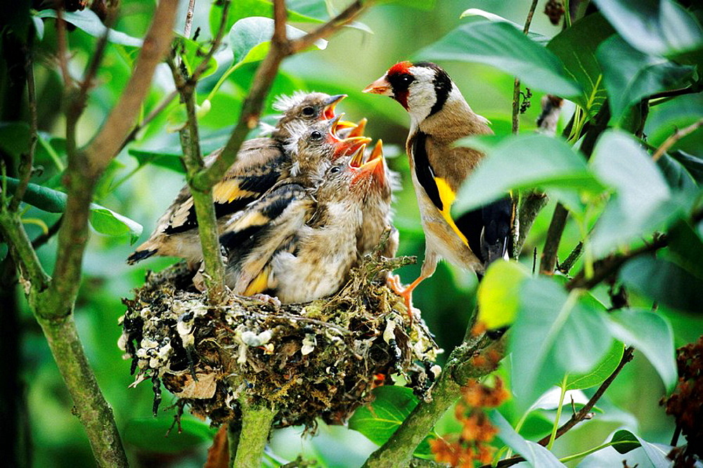 Goldfinch (Carduelis carduelis) feeds his five fledglings at the nest - 817-174333