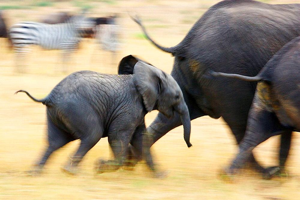 African Elephants - 817-175175