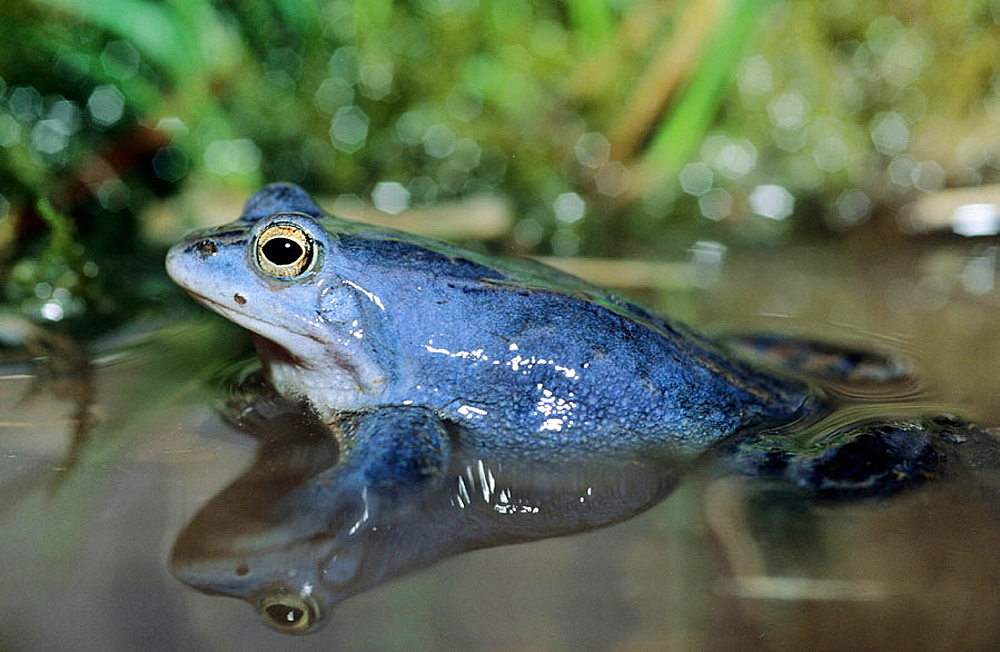 Moor Frog (Rana arvalis), male in blue colouring during mating season near Erlangen, Germany