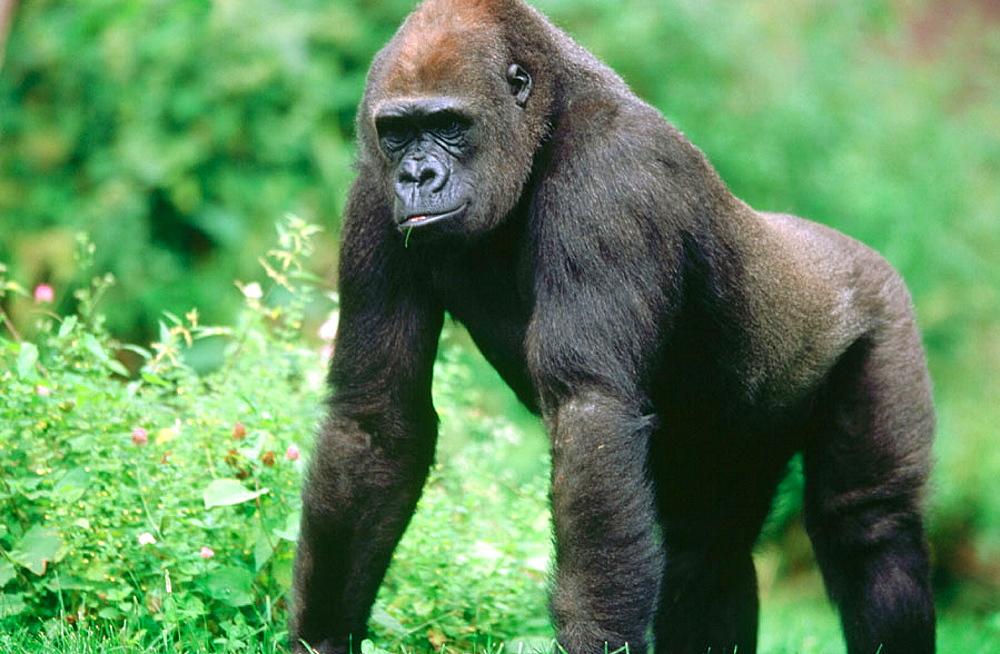 Mountain gorilla (Gorilla gorilla), Walking, Zoo of Nuremberg, Germany. - 817-175423