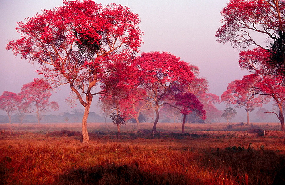 Rose trumpet trees in flower, Dry pasture with trees, Type of landscape like Savannah or park, Pantanal near Pocone, Mato Grosso, Brazil.