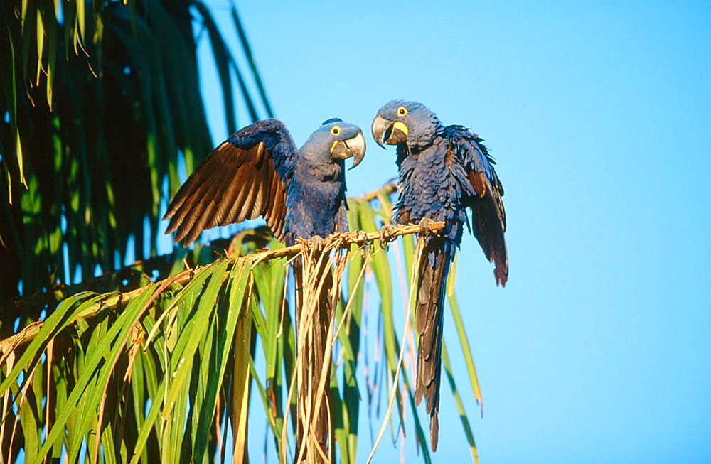 Hyacinth macaw (Anodrohynchus hyacinthinus), couple perching on a acuri palmtree, Courtship, Gestures of love and tenderness, Pantanal, near Porto Joffre, Mato Grosso, Brazil.
