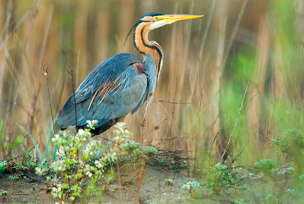 Purple Heron (Ardea purpurea), marshland, flood-plain forest, near river Bojana, Montenegro (Crna Gora), river Buna, Albania (Bojana/Buna river forming the border between Montenegro and Albania)