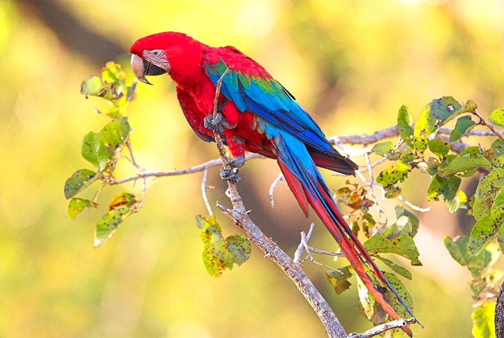 Green-winged Macaw (Ara chloroptera) perched on tree, Cerrado tropical savanna ecoregion, Piaui, Brazil