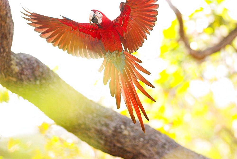 Green-winged Macaw (Ara chloroptera) flying in the canopy, Cerrado tropical savanna ecoregion, Piaui, Brazil