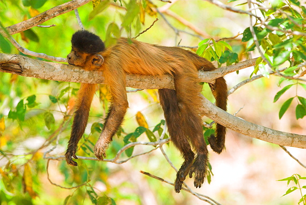 Weeping Capuchin (Cebus olivaceus) sleeping on tree, Cerrado tropical savanna ecoregion, Piaui, Brazil