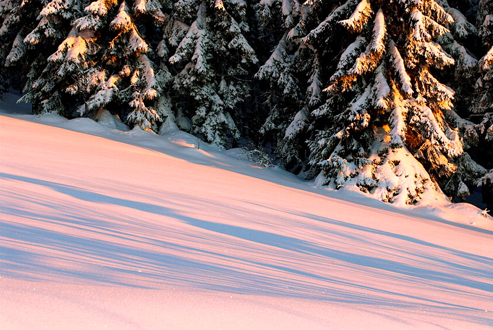 Bavarian Pine Forest, pine trees, snow covered, light of sunrise, untouched snow, National Park Bayerischer Wald, Germany