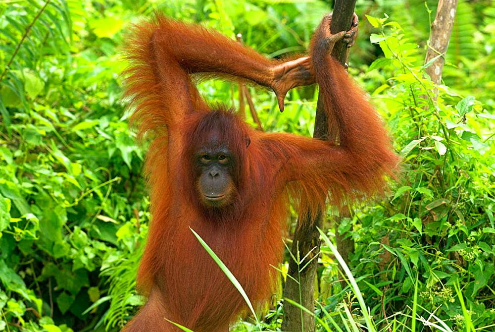 Orang-Utan (Pongo pygmaeus), standing on the ground and holding himself on a slim trunk of tree, rainforest, Borneo, Kalimantan, Indonesia