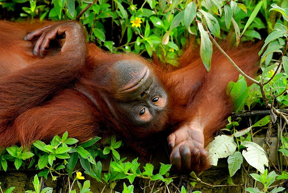 Orang-Utan (Pongo pygmaeus), lying on the ground, Borneo, Kalimantan, Indonesia - 817-175590