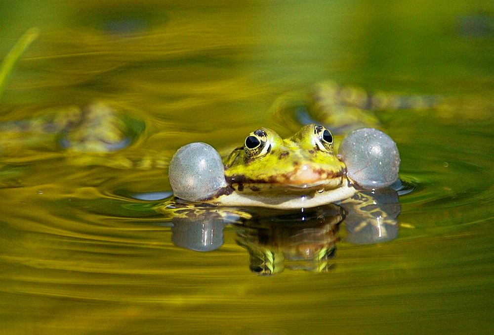Edible frog or Green frog (Rana esculenta), swimming and croaking for mating, double vocal sacs, water pond, Bavaria, Germany - 817-175664