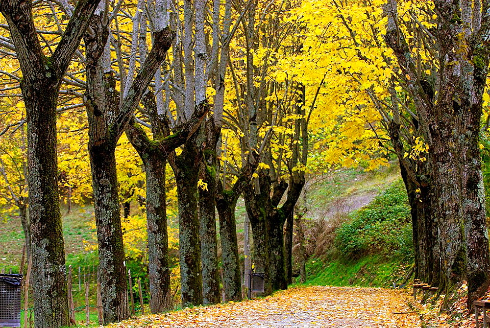 Alley of lime trees (Tilia sp.) in autumn, colours of autumn, yellow autumn leaves, walk for pedestrians, Apennine Mountains, Emilia Romagna,  Italy