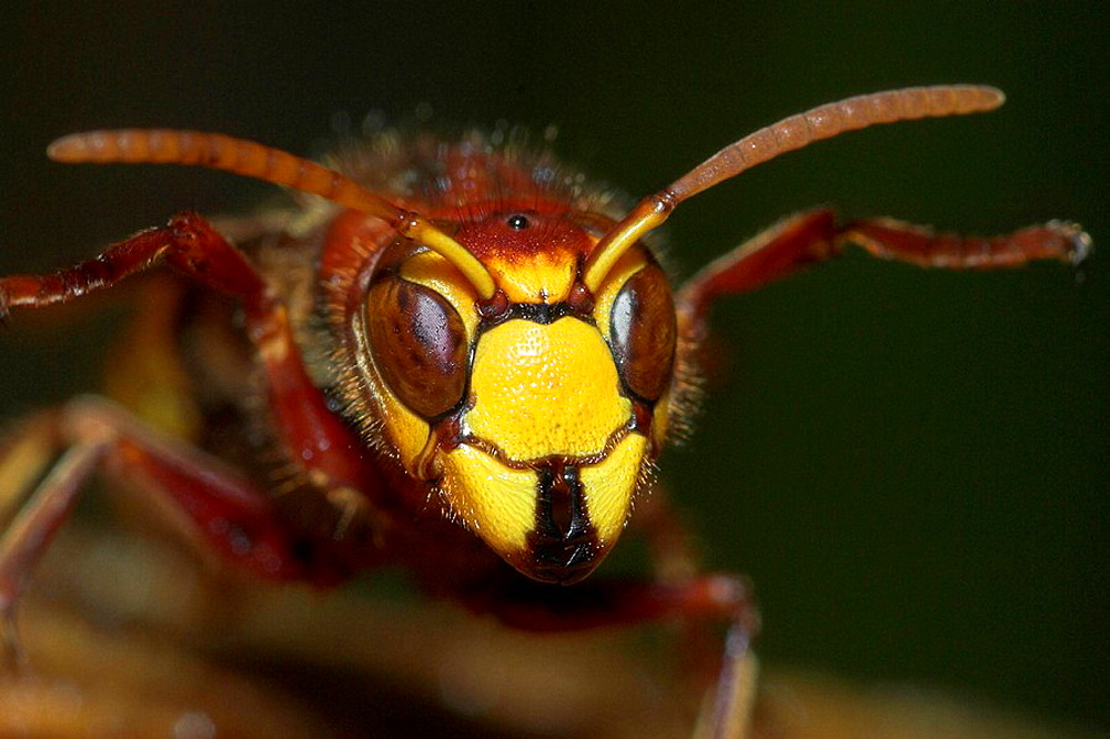Hornet (Vespa crabro), wasp, insect, compound eyes, aposematic/warning colour, Franconia, Bavaria, Germany - 817-175746