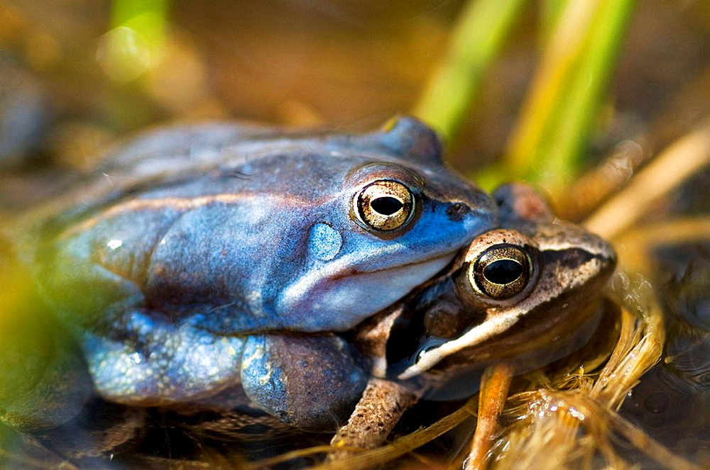 Moor frog (Rana arvalis), mating, blue-coloured male, water pond in Franconia, Bavaria
