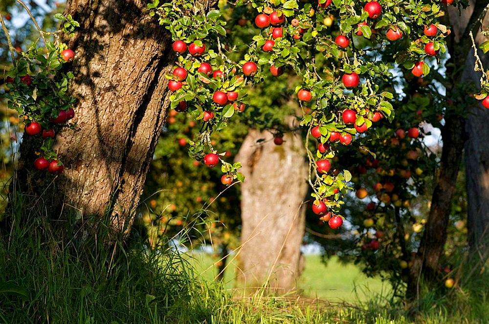 Apple-tree in meadow orchard, mature red apples in autumn, Franconia, Bavaria, Germany
