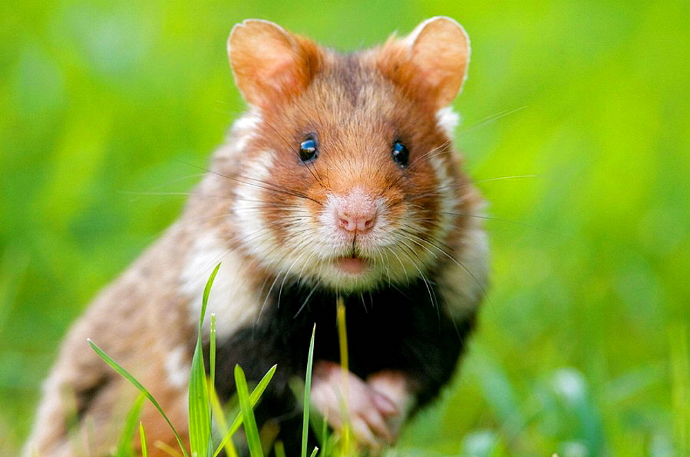 Common hamster (Cricetus cricetus), standing in grass, urban biotope in the city of Vienna, Austria - 817-175928