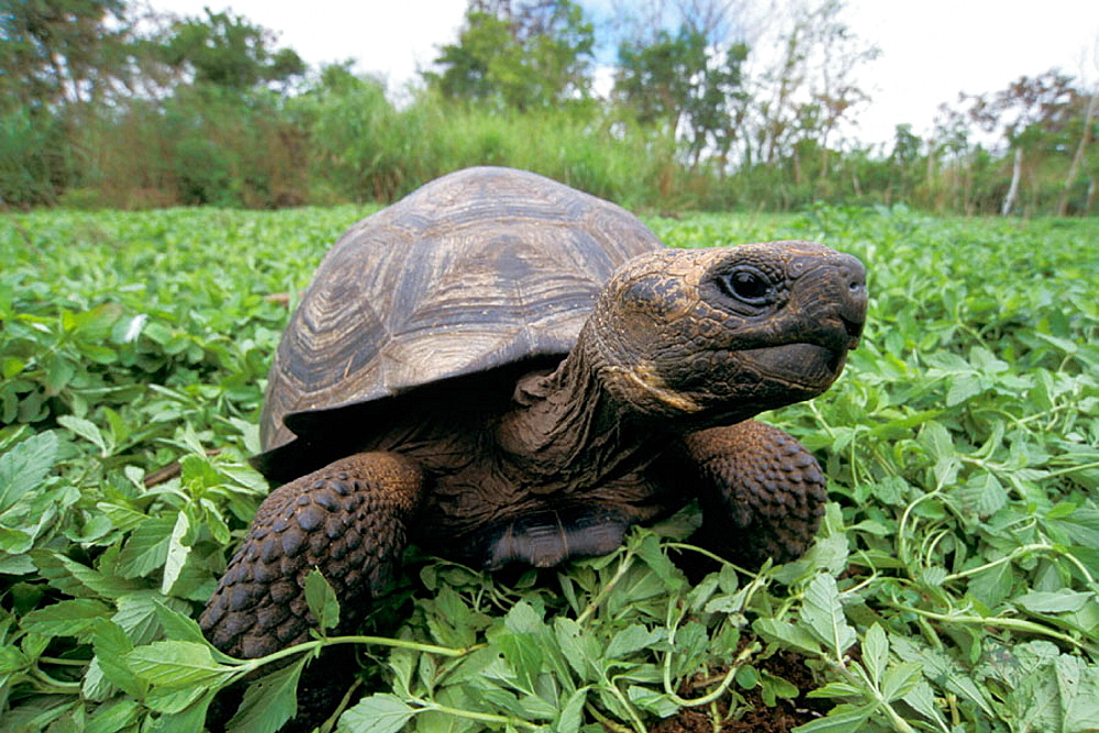 Young Galapagos Giant Tortoise (Testudo elephantopus)