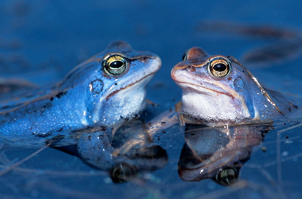 Two males of Rana arvalis in a pond in the early spring, middle of march, They are blue in this time for display
