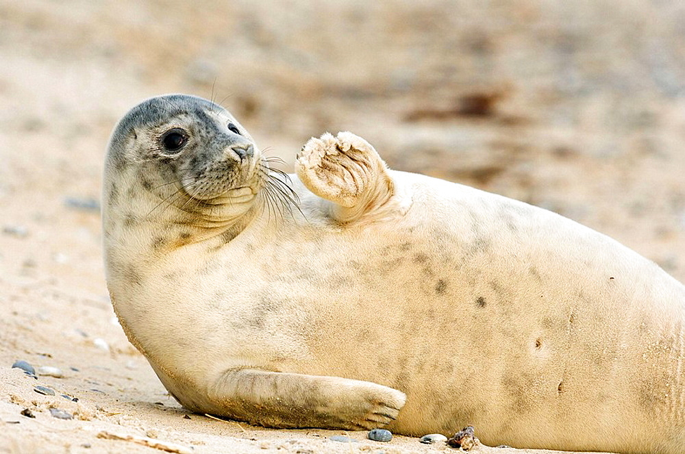 A younger seal at the shore, Helgoland, Germany