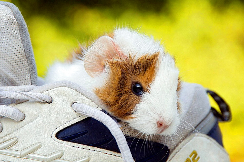 A young cavy looks out of a shoe