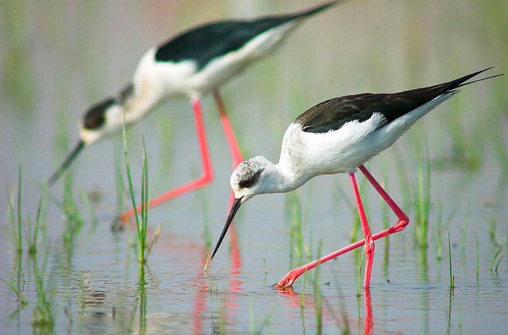 Black-winged Stilts (Himantopus himantopus), Marjal del Moro, marshes landscape, Sagunt, Valencia province, Spain