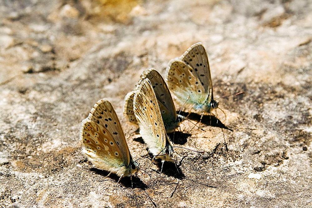 Butterflies in Canon de Anisclo, Pyrenees Mountains, Spain