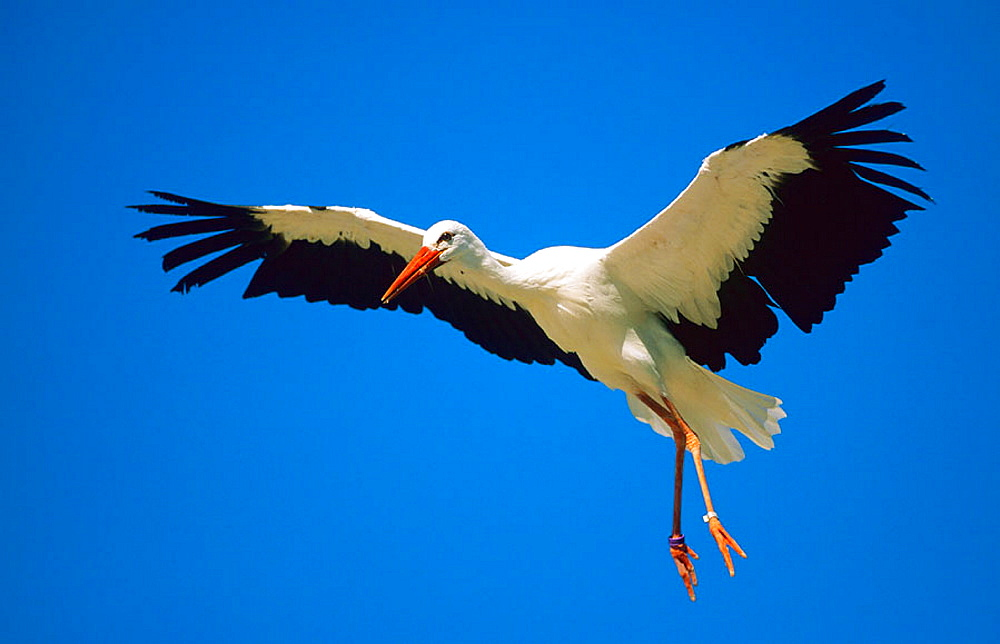 Stork (Ciconia ciconia) flying, Sevilla, Andalusia, Spain