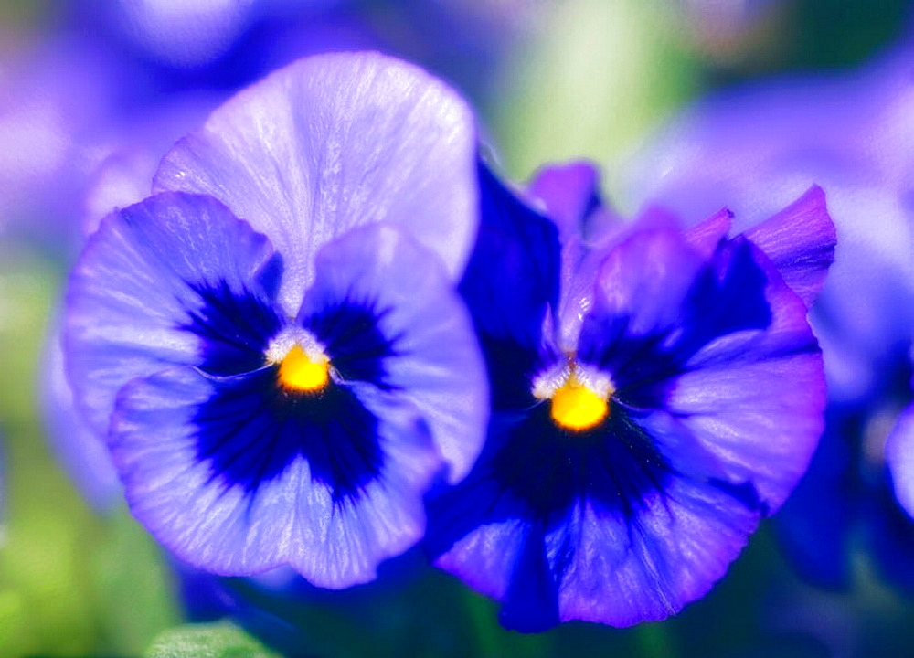 Two Blue Pansies, Viola x wittrockiana, March 2006, Maryland, USA