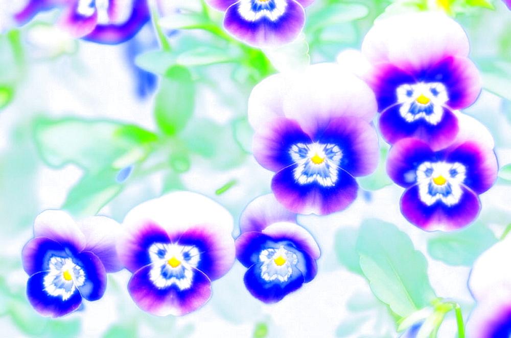 Blue Pansies, Viola x wittrockiana, May 2006, Maryland, USA