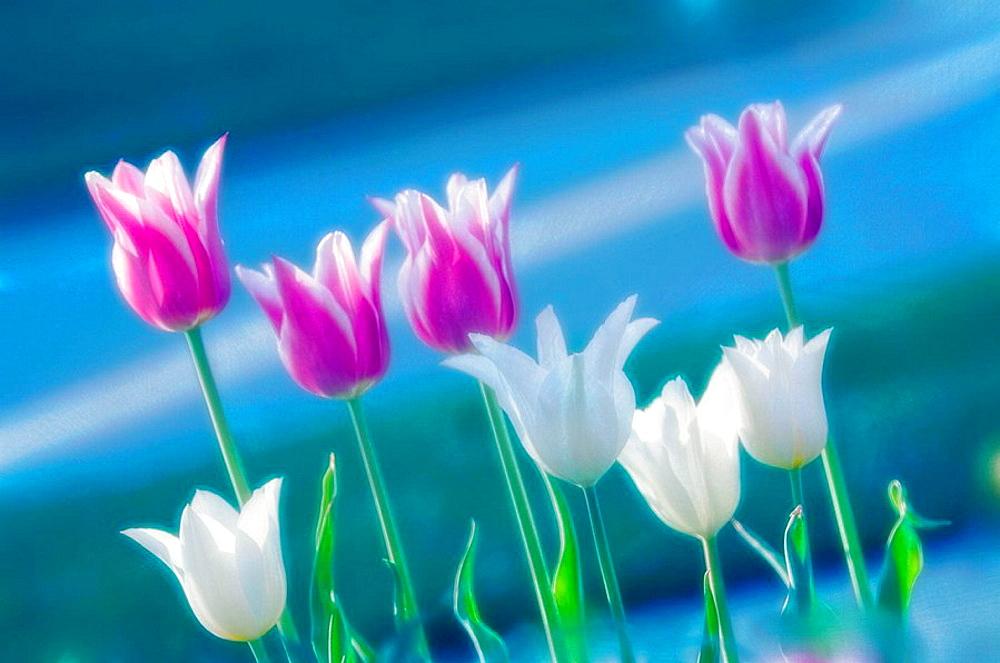 Lily Flowering Tulips, Tulipa hybrid, April 2006, Maryland, USA
