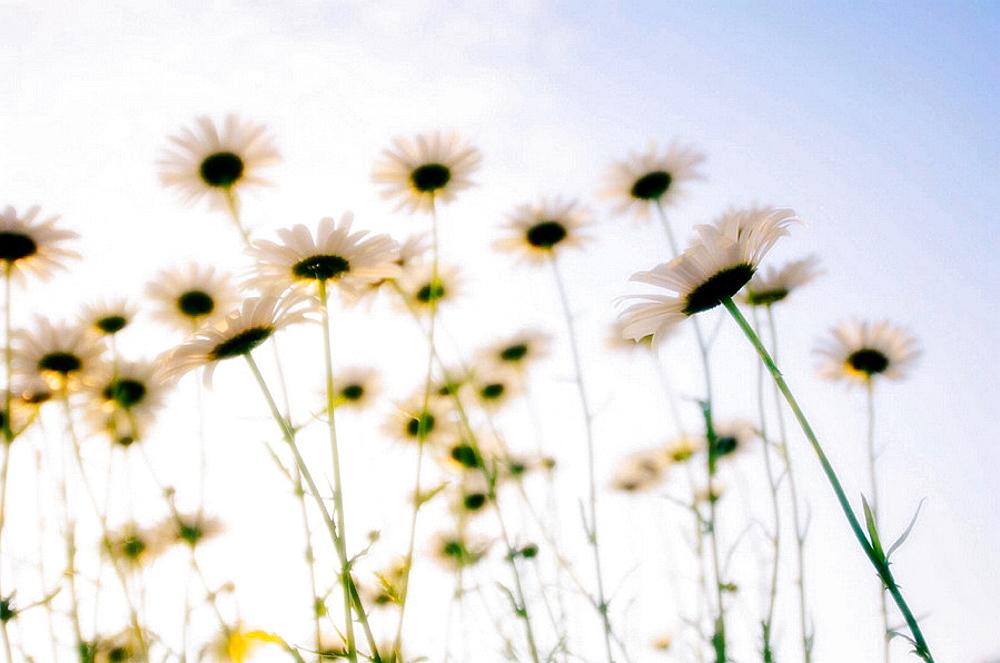 Shasta Daisy Flowers, Leucanthemum x superbum, May 2005, Maryland, USA