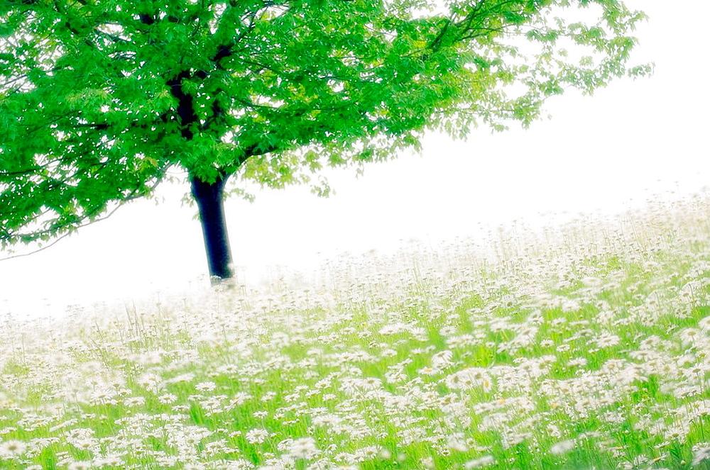 Shasta Daisies and a Tree, Leucanthemum x superbum, May 2007, Maryland, USA